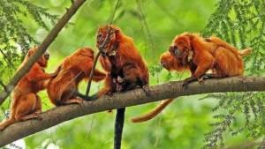 Majmuni Tamarin
