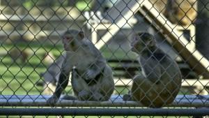 majmunet makake