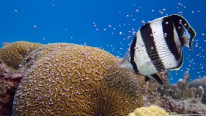 koralet